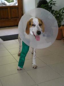 Ο σκύλος με αντιλειξικό περιλαίμιο και επίδεσμο στο πρόσθιο άκρο