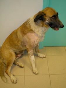 Ο σκύλος μετά την ορθοπεδική χειρουργική επέμβαση οστεοσύνθεσης κατάγματος βραχιονίου
