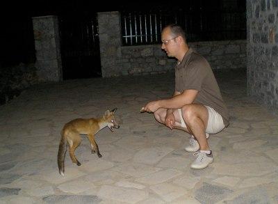 Τάισμα νεαρής αλεπούς στον Κότρωνα Λακωνίας
