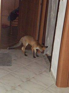 Αλεπουδάκι μέσα στο σπίτι, Κότρωνας