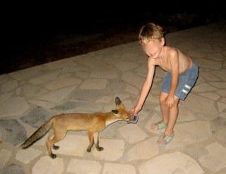 Παιδί ταΐζει εξημερωμένο αλεπουδάκι στον Κότρωνα, κτήμα Μπεάκου