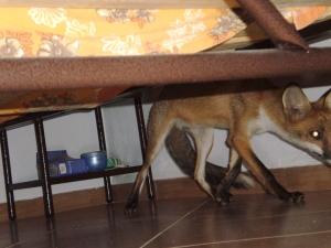 Αλεπουδάκι κάτω από το κρεβάτι
