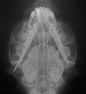 Ακτινογραφία μετά την τοποθέτηση ήλου και συρμάτων στην σπασμένη κάτω γνάθο γάτας