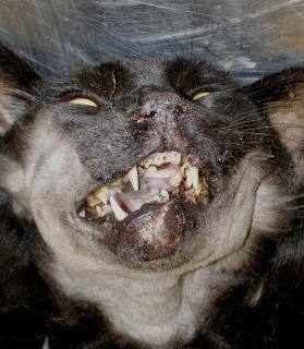 Γάτα με κατάγματα κάτω γνάθου