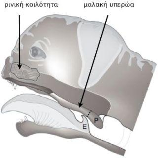 Απεικόνιση της ανατομίας του άνω αναπνευστικού συστήματος βραχυκέφαλου σκύλου