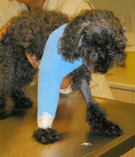 Ο σκύλος μετά την ανάταξη και την εφαρμογή νάρθηκα στο πρόσθιο άκρο